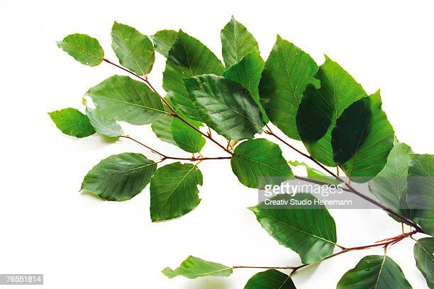 Beech leaves (Fagus sylvatica) against white background, close-up