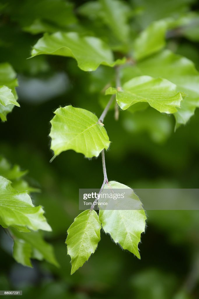 Beech leaves (Fagus sylvatica), close-up