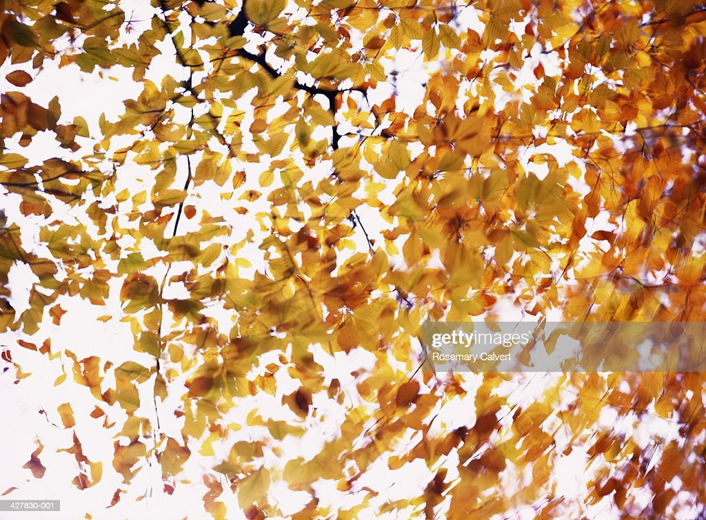 Beech leaves in fall, Forest of Dean, Gloucestershire, England : Stock Photo