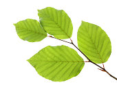 Beech leaves isolated on white background