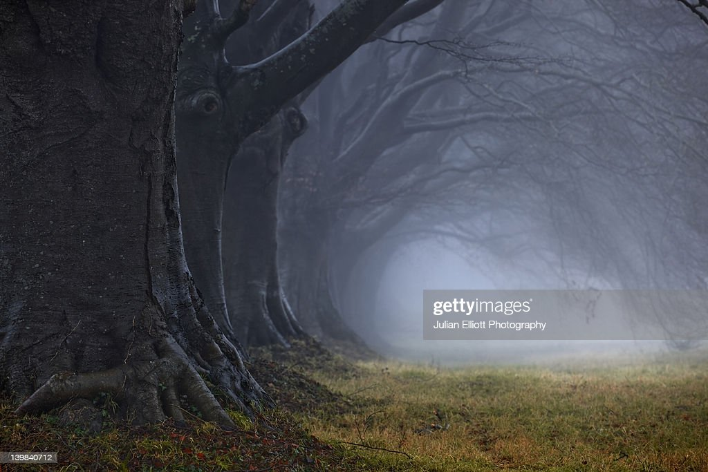 Beech tree avenue, Kingston Lacy, Dorset, England, UK. : Stock Photo