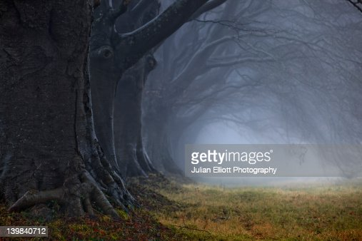 Beech tree avenue, Kingston Lacy, Dorset, England, UK. : ストックフォト