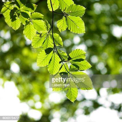 Beech tree branch of green sunlit leaves