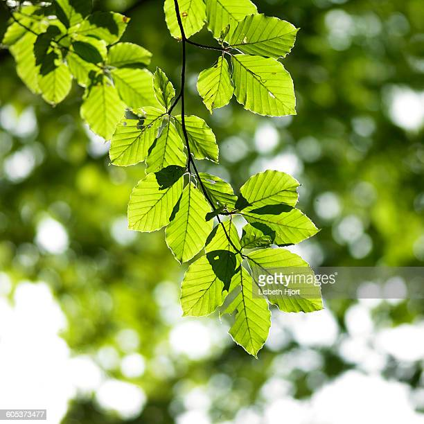 Beech tree branch of green sunlit leaves