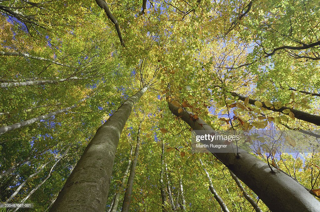 Beech tree forest in autumn, low angle view : Stock Photo
