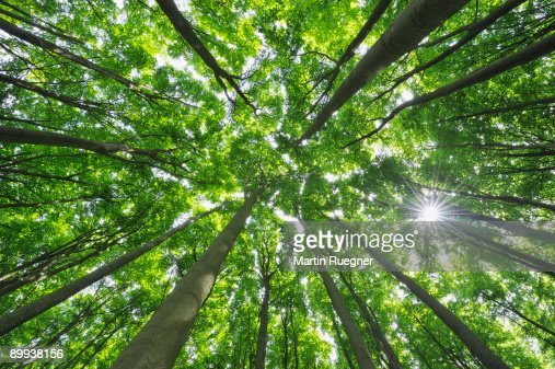 Beech tree forest view to the tree tops, sunbeams. : Stock Photo