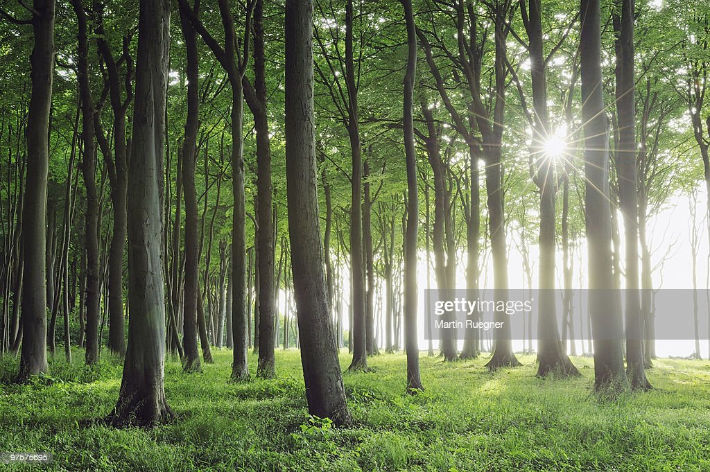 Beech tree forest with sun and sunbeams. : Stock Photo