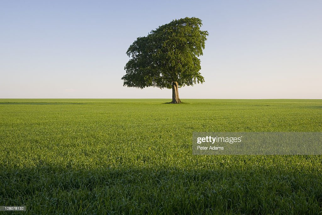 Beech tree in field during spring, Gloucestershire, England, UK : Stock Photo