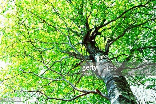 Beech árbol en el bosque