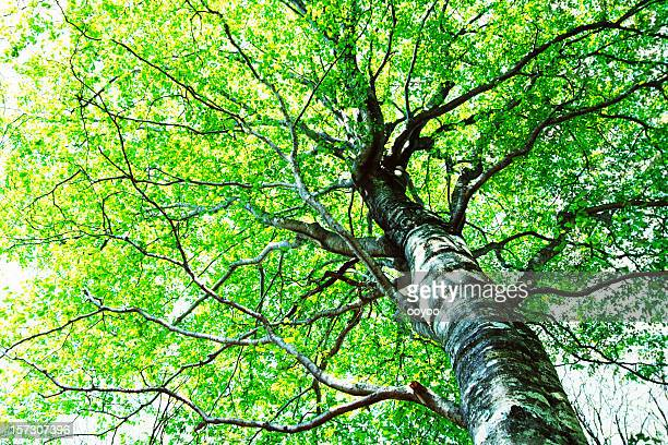 Beech tree in forest