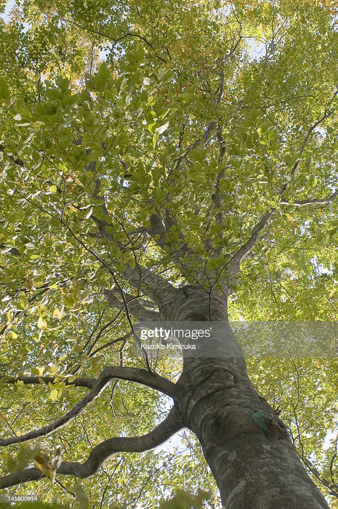 Beech tree : Stock Photo