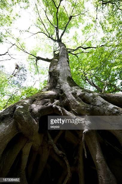 Árbol de haya raíces