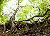 Beech Tree Roots