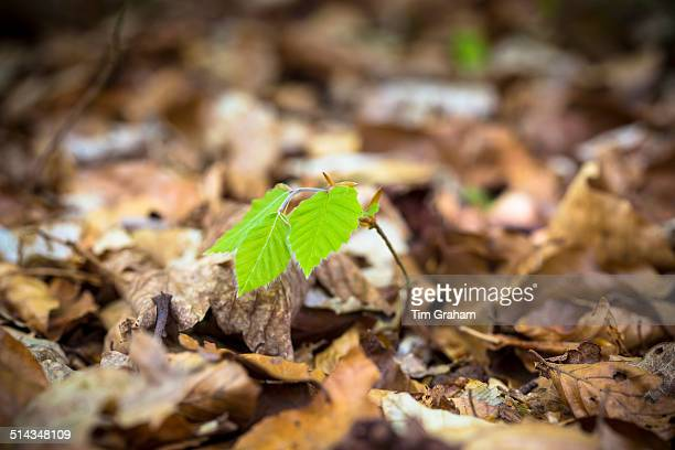 Beech tree sapling in Cotswolds Woodland