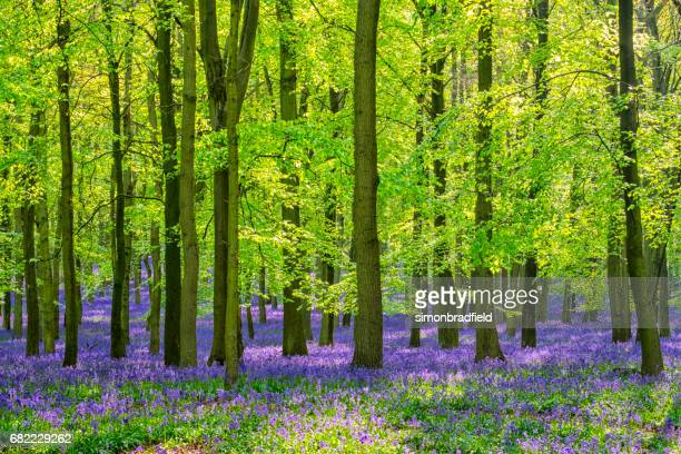 Beech Trees And Bluebells