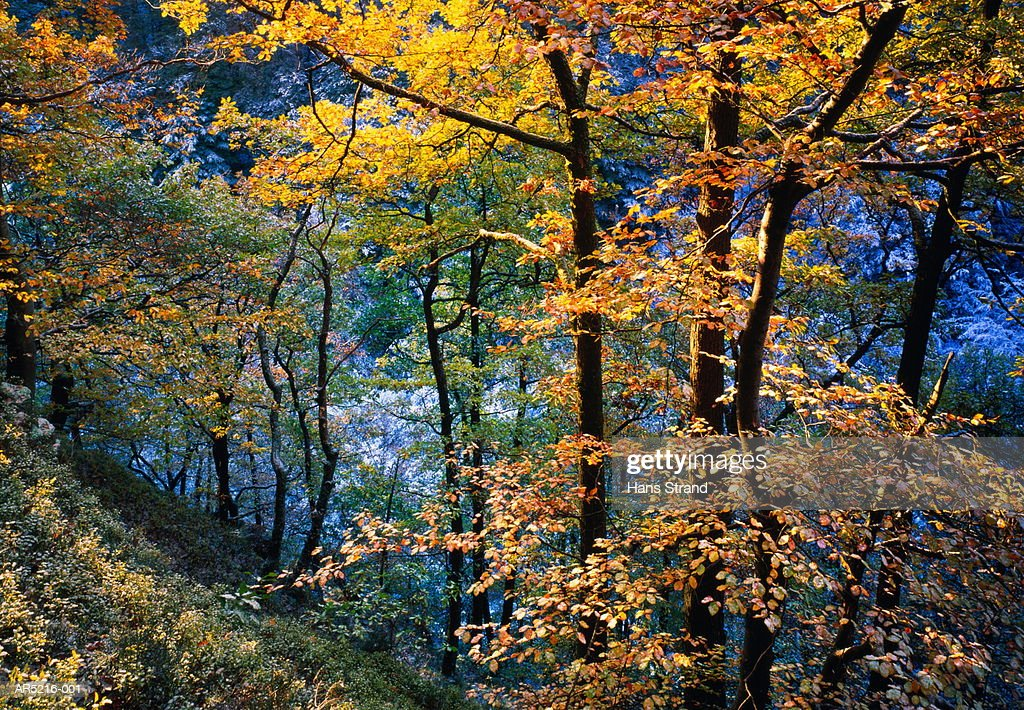 Beech trees (Fagus sp.) in forest, autumn, Skane, Sweden : Stock Photo