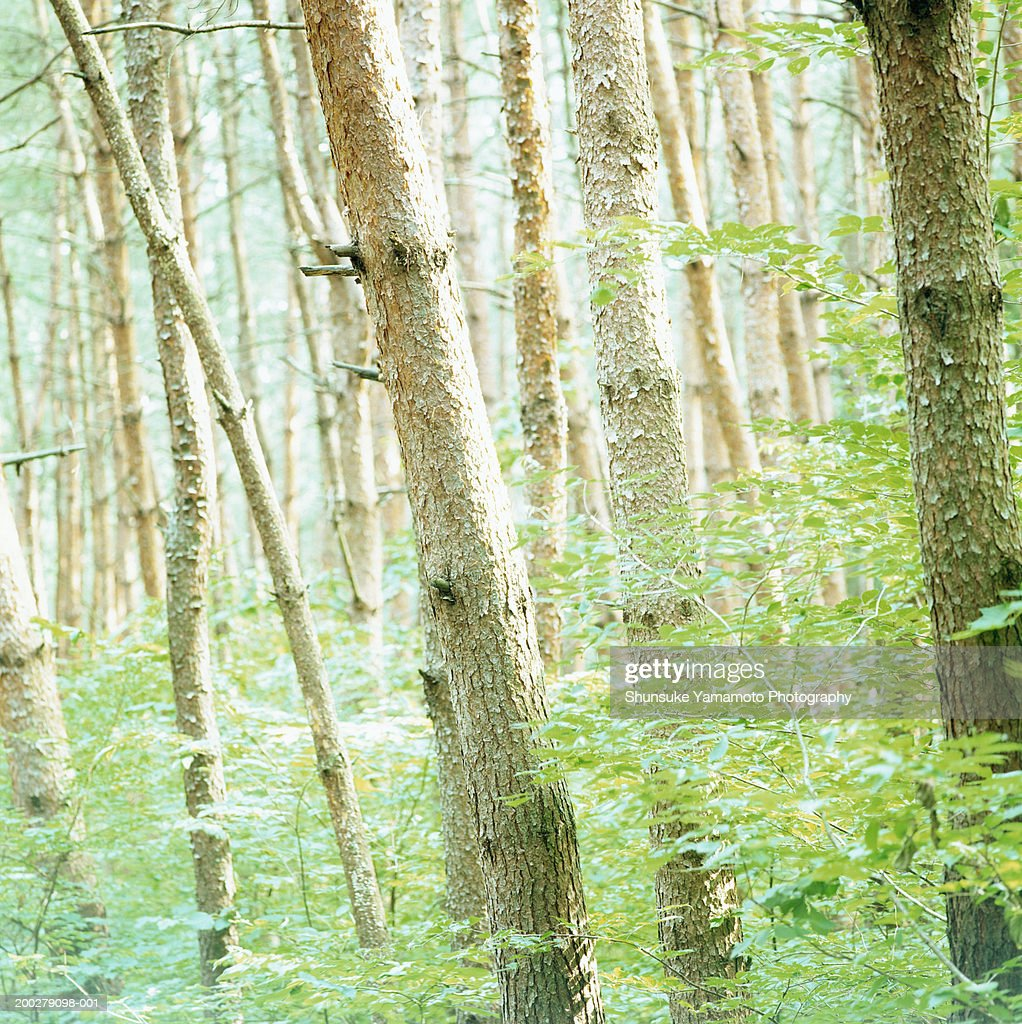Beech trees (Fagus sp.) in forest