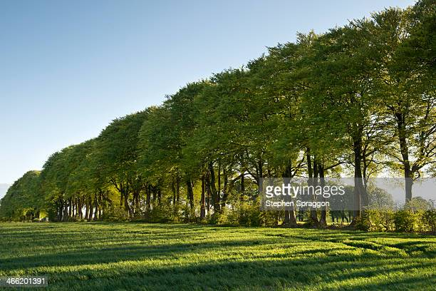Beech trees in lush countryside