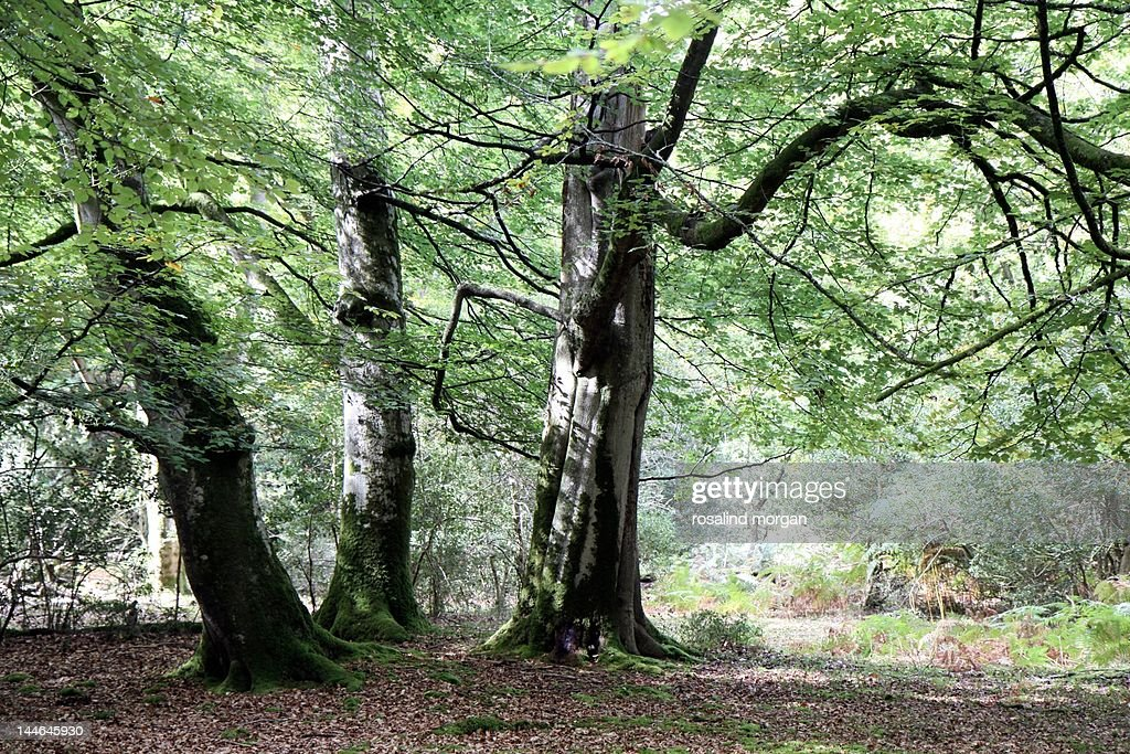 Beech trees in woodland : Stock Photo