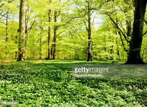 Beech wood and wood anemones in spring Skane Sweden.