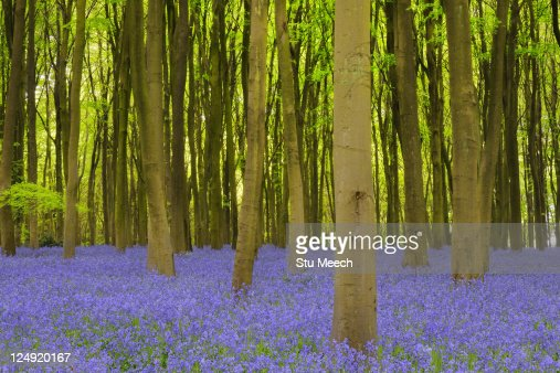 Beech woodland with bluebell carpet : Stockfoto