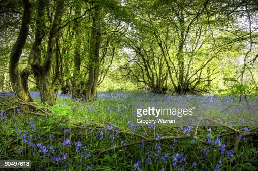 Beech woods with bluebells and ferns : Stock Photo