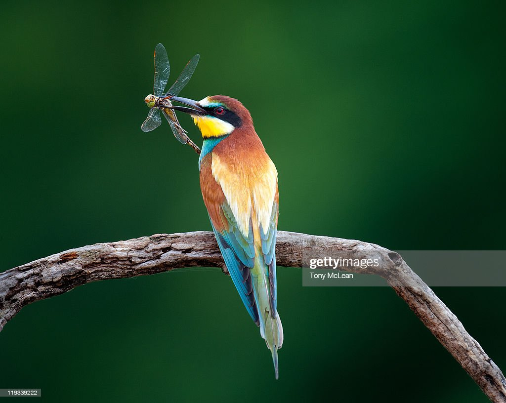 Bee-eater with captured dragonfly_2