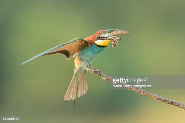 Bee-eater with prey