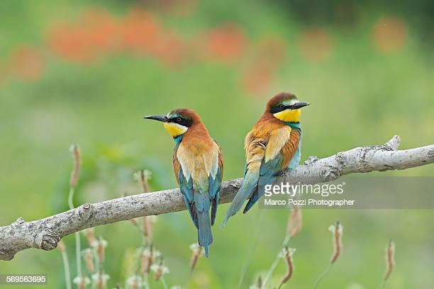 Bee-eaters among flowers