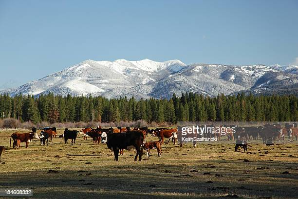 Beef Cattle and Mountain