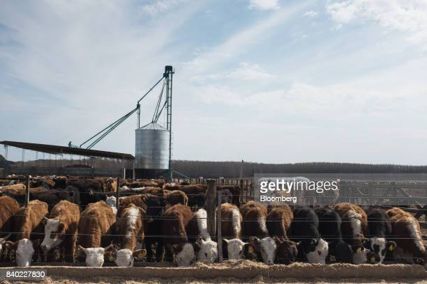 Beef cattle eat at the Agro Holanda SA feedlot in Zarate Argentina on Monday Aug 7 2017 Argentina a major cow meat producer is seeking to regain...