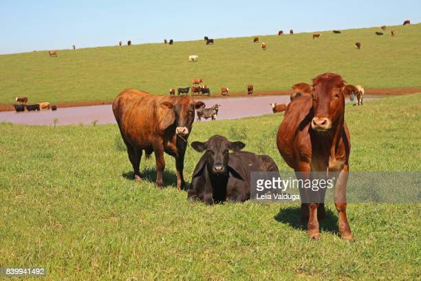 Beef cattle - in the field on the Rio Grande do Sul - Brazil.