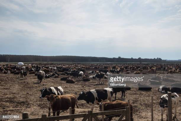Beef cattle stand at the Agro Holanda SA feedlot in Zarate Argentina on Monday Aug 7 2017 Argentina a major cow meat producer is seeking to regain...