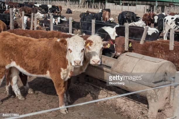 Beef cattle stand next to a trough at the Agro Holanda SA feedlot in Zarate Argentina on Monday Aug 7 2017 Argentina a major cow meat producer is...
