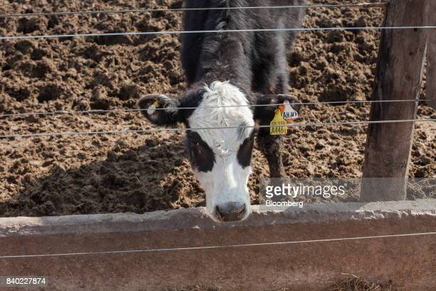 A beef cow eats at the Agro Holanda SA feedlot in Zarate Argentina on Monday Aug 7 2017 Argentina a major cow meat producer is seeking to regain...