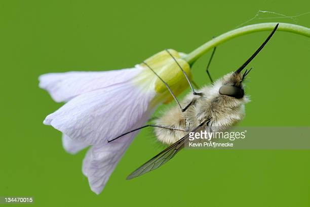 Bee-fly (Bombyliidae) on Lady's Smock (Cardamine pratensis)