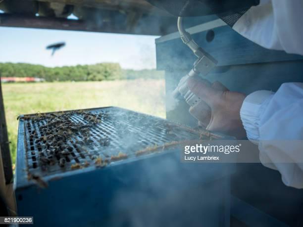 Beekeeper blowing smoke