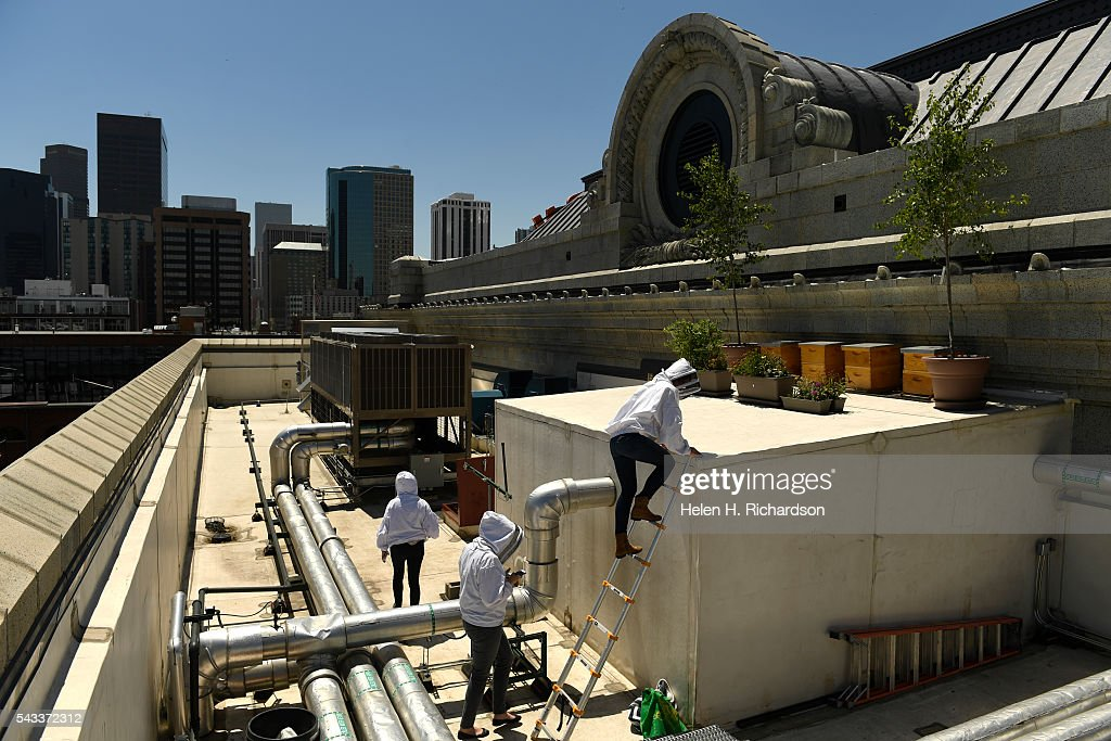Beekeeper Caitlin Rose Keeney, right, climbs a ladder to tend to four hives of bees on the roof of Union Station on June 27, 2016 in Denver, Colorado. The hives, which were installed last fall, each have between 3,000 to 10,000 bees in them. The urban beekeeping initiative is funded by five Larimer Associate restaurants inside Union Station's Great Hall who will also be the recipients of the honey. They hope to have the first harvest this summer.