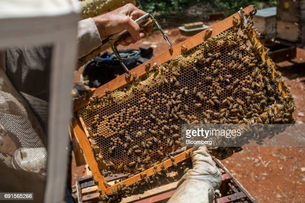 A beekeeper dressed in protective clothing inspects a frame from a beehive at the Flor de Tajonal Cooperative farm in Felipe Carrillo Puerto Quintana...