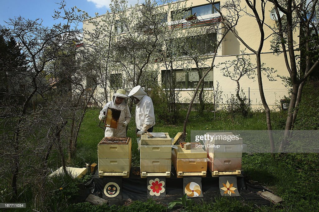 Beekeeper Eva Fisher (L) and friend Chloe Hervell, a highschool exchange student from Utah, do a weekly checkup on Eva's four bee colonies next to an elemntary school on April 28, 2013 in Berlin, Germany. Local beekeepers claim their yearly loss rates within their bee populations has gone from an average of 10% per year to 30% per year over the last 10 years, though they are unsure whether the cause lies with a mite and a virus it might be spreading or with the increased use of certain pesticides by local farmers. According to a recent report prepared by Greenpeace seven pesticides currently in use in Europe present a real danger to bees. Bees are essential in nature in pollenating a wide variety of plants and trees.