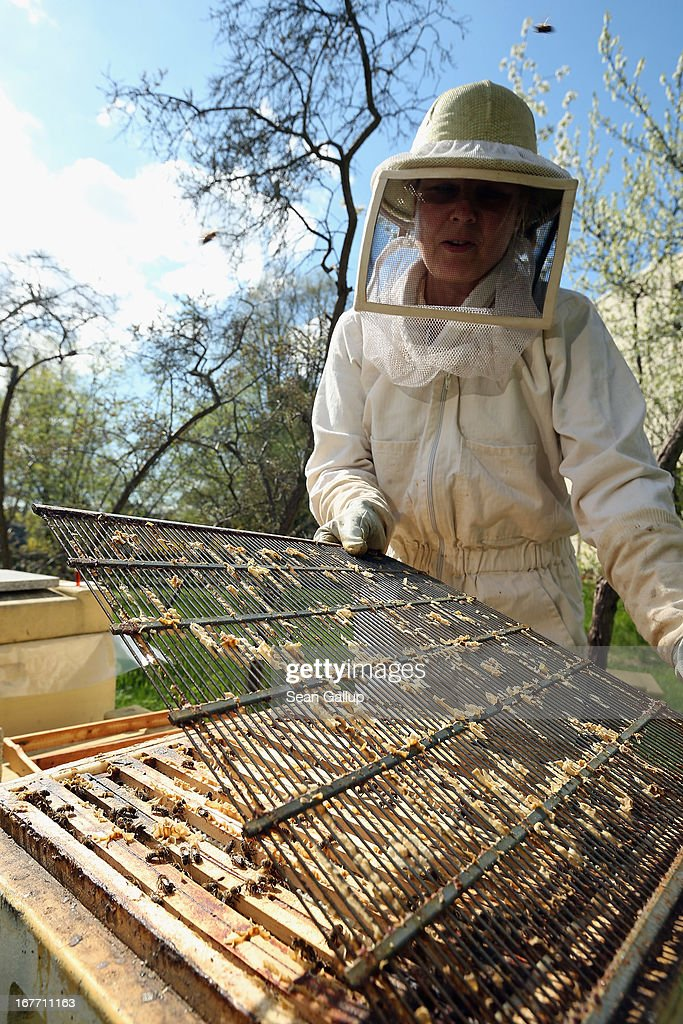 Beekeeper Eva Fisher removes a grate inside a hive during a weekly checkup on her four bee colonies next to an elementary school on April 28, 2013 in Berlin, Germany. Local beekeepers claim their yearly loss rates within their bee populations have gone from an average of 10% per year to 30% per year over the last 10 years, though they are unsure whether the cause lies with a mite and a virus it might be spreading or with the increased use of certain pesticides by local farmers. According to a recent report prepared by Greenpeace seven pesticides currently in use in Europe present a real danger to bees. Bees are essential in nature in pollenating a wide variety of plants and trees.