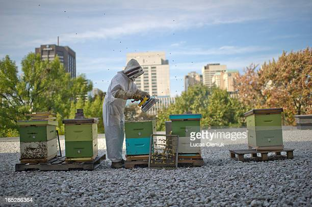 Beekeeper Fred Davis tends to one of his six hives on top of the Four Seasons Centre for the Performing Arts at Queen and University Avenue in...