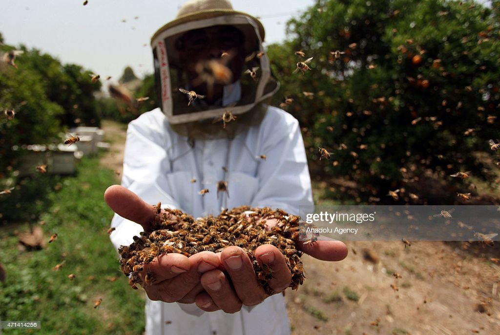 A beekeeper hold bees after using smoke to calm honey bees before removing comb on April 27, 2015. Gaza's beekeepers face a decline in production due to Israeli assaults in the past years in Gaza City, Gaza. The honey-production sector and obtaining beekeeping supplies encountered difficulties in the Gaza Strip after the ongoing the blockade.
