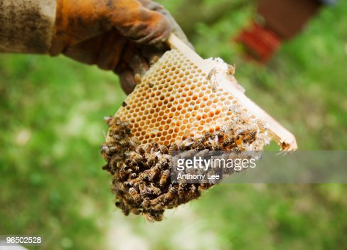 Beekeeper holding bees and honeycomb : Stock Photo