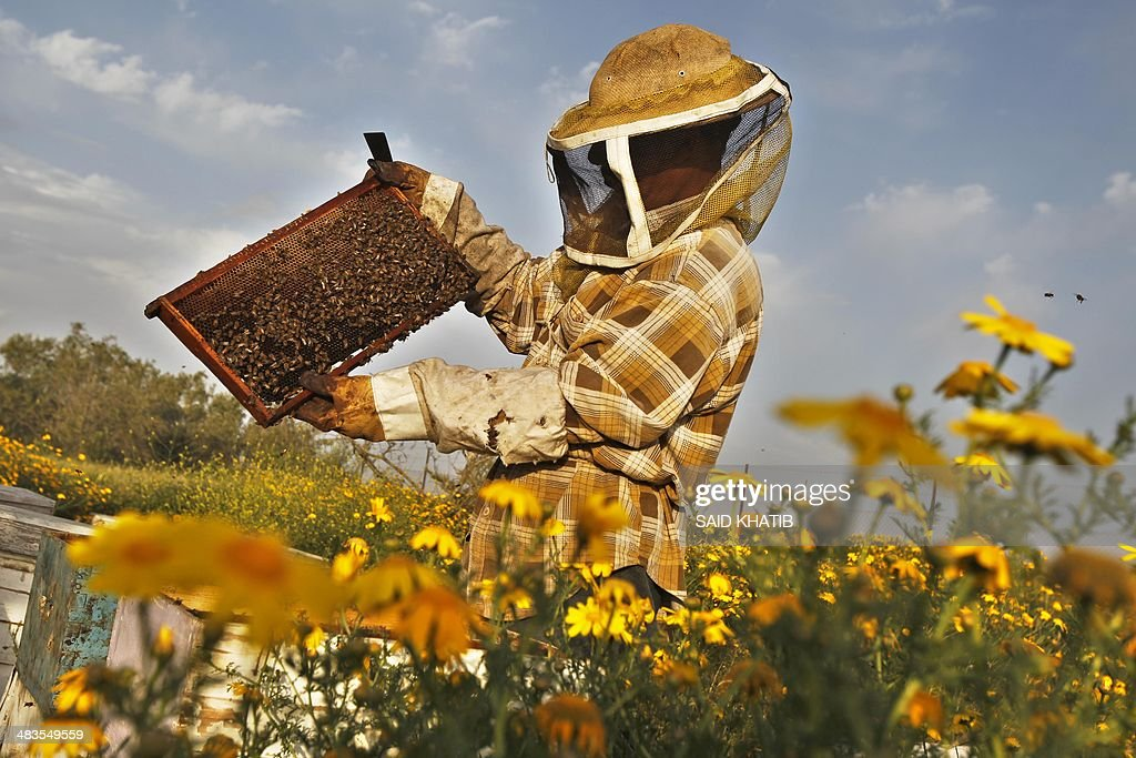 Beekeeper Ibrahem Shurab (R) inpects a rack of honey-bees on April 9, 2014 at his farm in Khan Yunis town, in the southern Gaza Strip, near the Israeli border. The apiarys 450 bees produce some 4,000 kilos of honey every year, that is only sold in the Gaza Strip.
