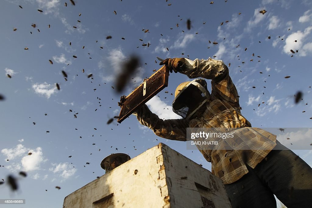 Beekeeper Ibrahem Shurab inspects a rack of honey-bees on April 9, 2014 at his farm in Khan Yunis town, in the southern Gaza Strip, near the Israeli border. The apiarys 450 bees produce some 4,000 kilos of honey every year, that is only sold in the Gaza Strip.