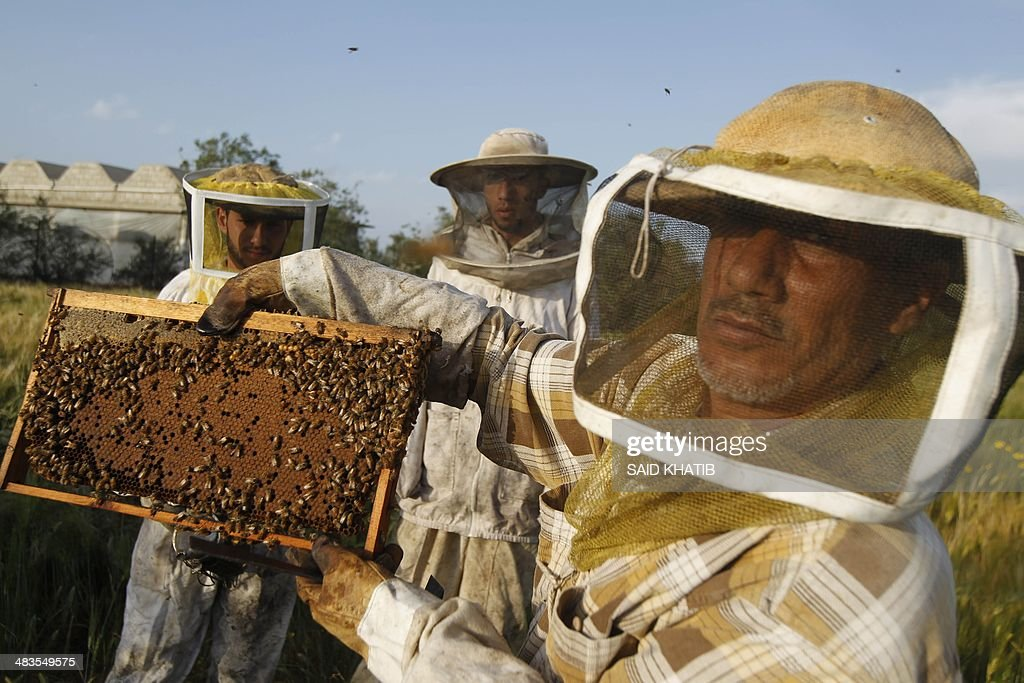 Beekeeper Ibrahem Shurab (R) inspects a rack of honey-bees on April 9, 2014 at his farm in Khan Yunis town, in the southern Gaza Strip, near the Israeli border. The apiarys 450 bees produce some 4,000 kilos of honey every year, that is only sold in the Gaza Strip.