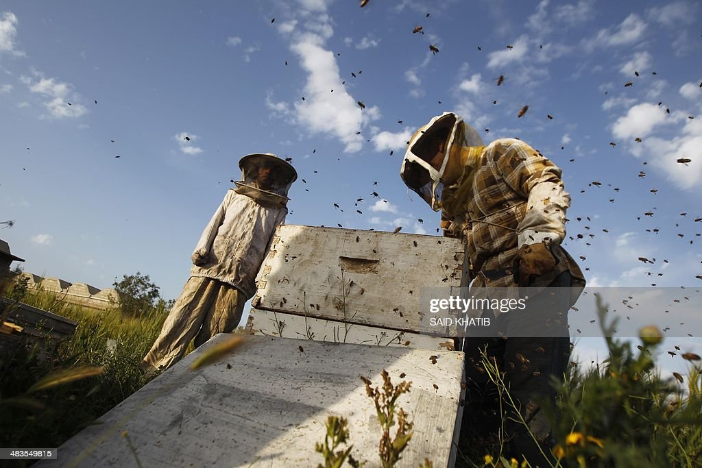 Beekeeper Ibrahem Shurab (R) inspects a rack of honey-bees on April 9, 2014 at his farm in Khan Yunis town, in the southern Gaza Strip, near the Israeli border. The apiarys 450 bees produce some 4,000 kilos of honey every year, that is only sold in the Gaza Strip. AFP PHOTO/ SAID KHATIB