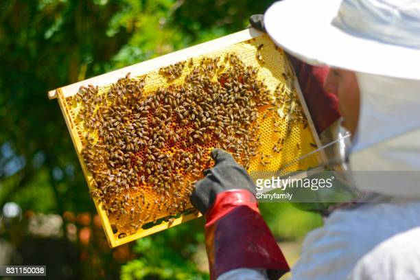 Beekeeper in protective gloves inspecting frame with honeycomb from bees