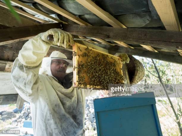 Beekeeper inspecting a frame